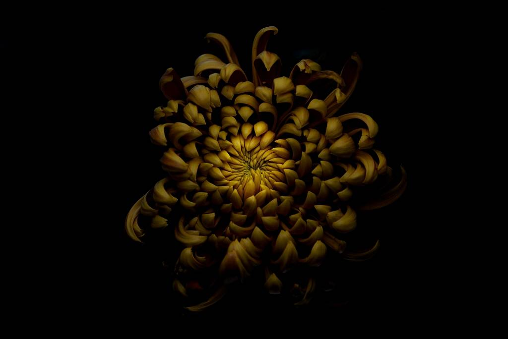 Umo Art Gallery Chrysanthemum
