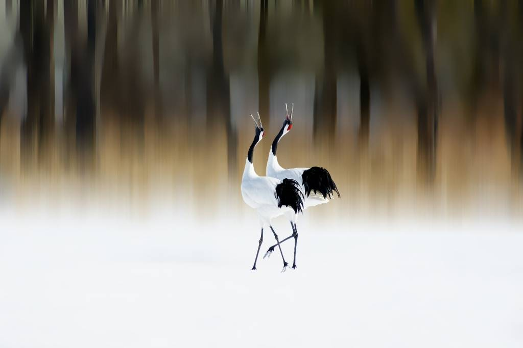 a red-crested white crane