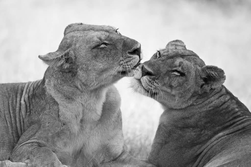 Umo Art Gallery Lions in B&W