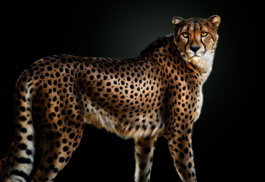 Umo Art Gallery Cheetah