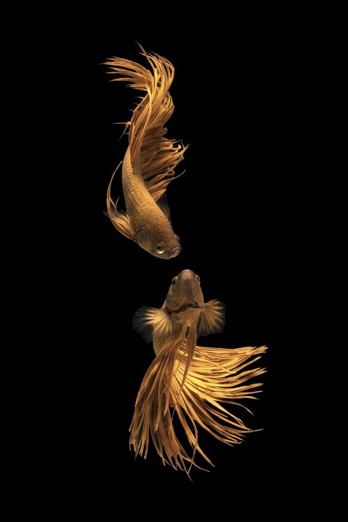Umo Art Gallery Love Story of the Golden Fish