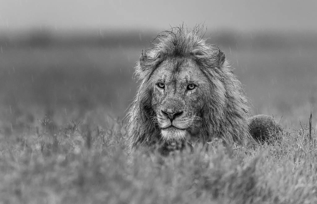Umo Art Gallery Lion