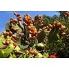 Arc en Sels Biologische Pure Cactusvijgolie • Elixer