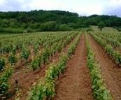 Wijnproductie Frankrijk daalt met 10%