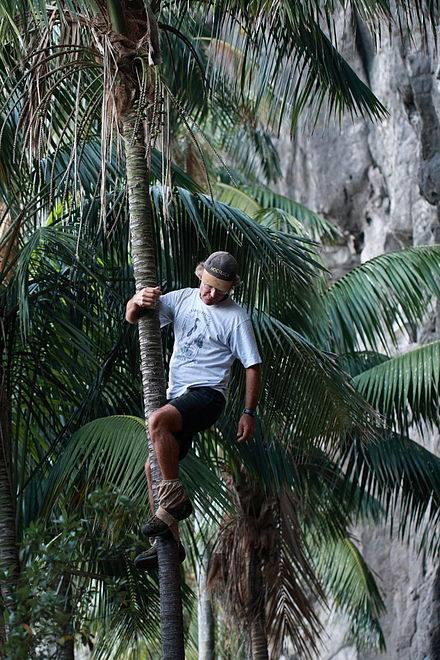 kentia palm zaden