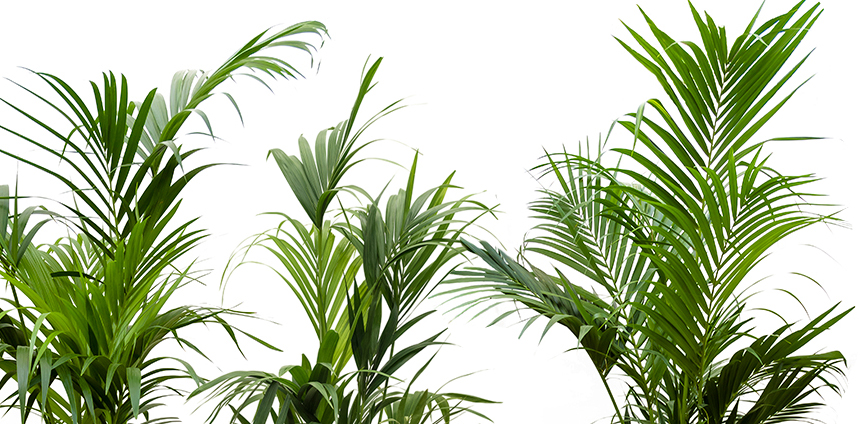 grote kentia palmen