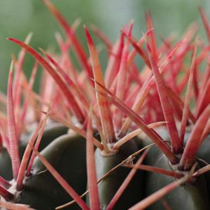 cactus met stekels