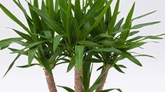 yucca kaufen 123zimmerpflanzen. Black Bedroom Furniture Sets. Home Design Ideas