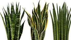 Sansevieria bogenhanf kaufen 123zimmerpflanzen - Zimmerpflanze sonnig ...