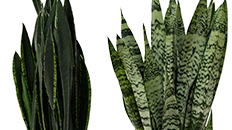 sansevieria black schwiegermutterzunge kaufen 123zimmerpflanzen. Black Bedroom Furniture Sets. Home Design Ideas