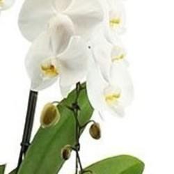 orchidee pflege 123zimmerpflanzen. Black Bedroom Furniture Sets. Home Design Ideas