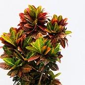 zimmerpflanzen kaufen 123zimmerpflanzen. Black Bedroom Furniture Sets. Home Design Ideas