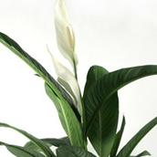 Blühenden Zimmerpflanzen Kaufen? - 123zimmerpflanzen Bluhende Zimmerpflanzen Arten