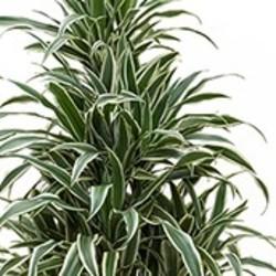 drachenbaum pflege 123zimmerpflanzen. Black Bedroom Furniture Sets. Home Design Ideas