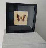 Vlinder in lijst