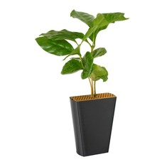 Koffieplant