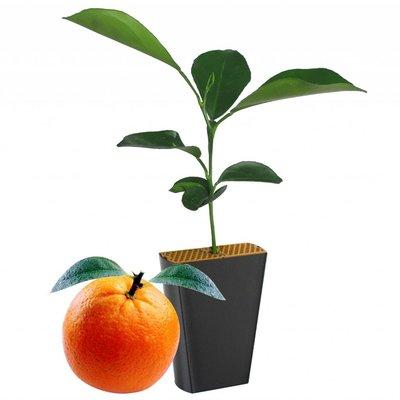 Sinaasappelboompje (Citrus sinensis var. Valencia)