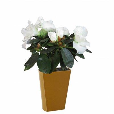 Azalea indica (Rhododendron simsii)