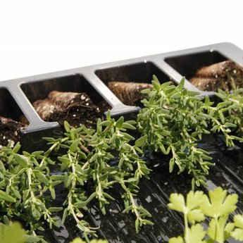thijm kruiden planten