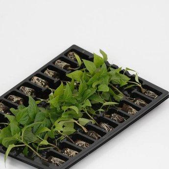 Gele paprika planten