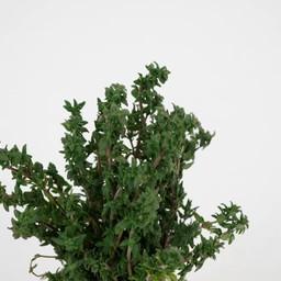 thijm (9 planten)