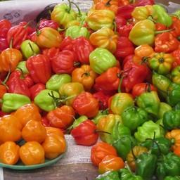 habanero peper (9 planten)
