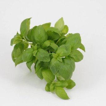 kaneel basilicum planten