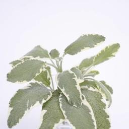 salvia (9 planten)