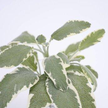 salvia planten
