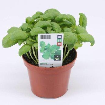 basilicum potkruiden (3 planten)