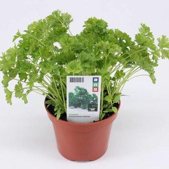 peterselie potkruiden (3 planten)