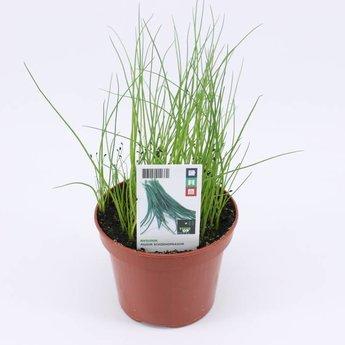 bieslook potkruiden (3 planten)