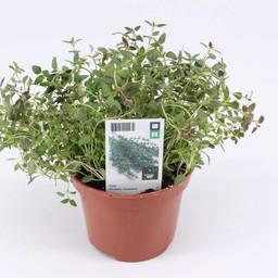 thijm (3 planten)