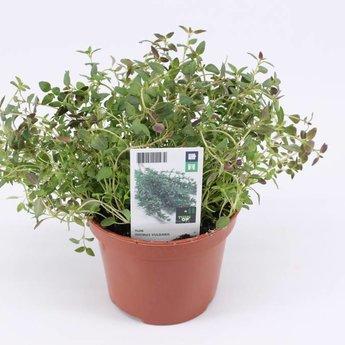 thijm potkruiden(3 planten)