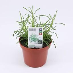 olijvenkruid ( 3 planten)