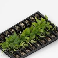 Groenteplanten