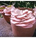 Pilzpaket Rosenseitlinge auch Flamingoseitlinge, Rosaseitlinge gennant