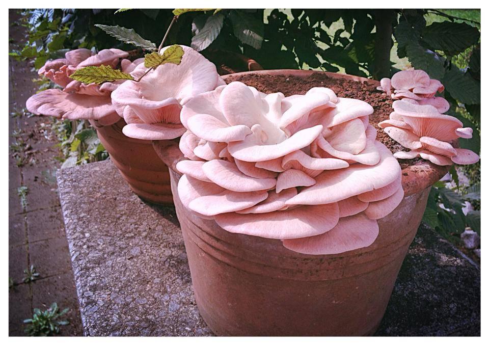 rosenseitlinge pilzsubstrat aus basis von kaffeesatz zum pilze z chten pilzpaket. Black Bedroom Furniture Sets. Home Design Ideas