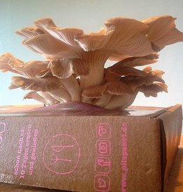 Pilzpaket Sommer Austernpilze