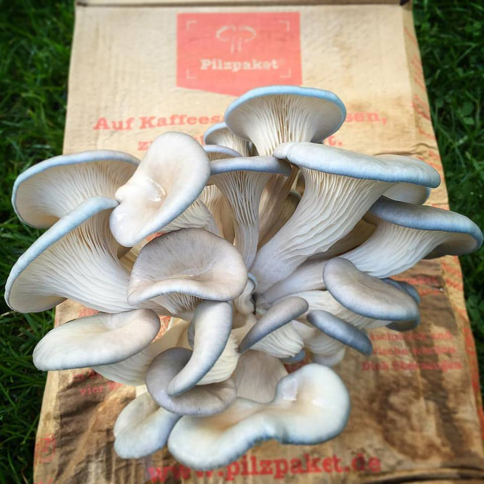 Pilzpaket Taubenblaue Austernpilze