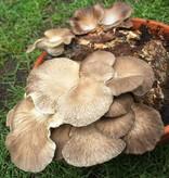 Pilzpaket Sommer Austernpilze oder Lungen-Seitling und löffelförmiger Seitling
