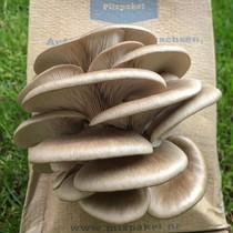 Pilzpaket Pilzbrut taubenblaue Austernpilze zur Herstellung von eigenem Pilzsubstrat