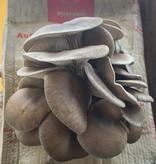 Pilzpaket Florida Austern-Seitling, Florida Austernpilz