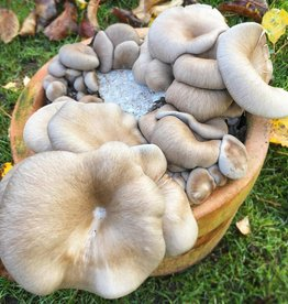 Pilzpaket Pilzbrut Florida Austernpilze