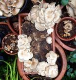 Pilzpaket Pilzbrut Sommer Austernpilze zur Herstellung von eigenem Pilzsubstrat