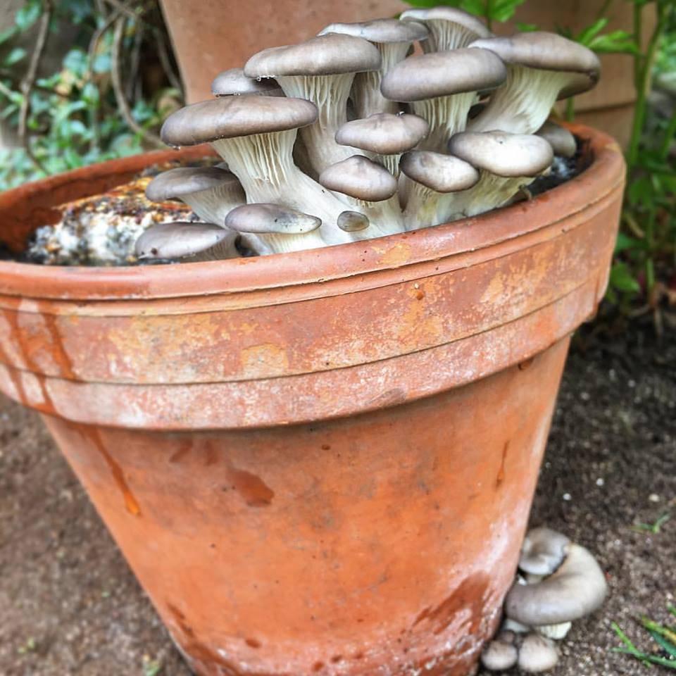 Pilzpaket Pilzbrut graue Austernpilze zur Herstellung von eigenem Pilzsubstrat