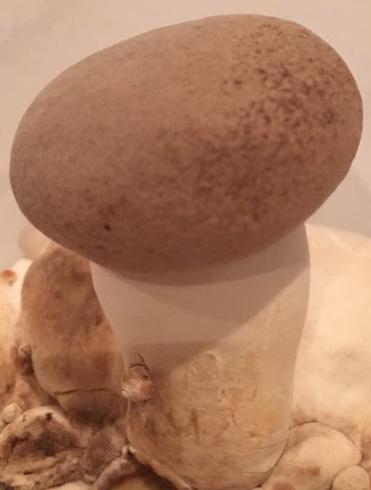 Pilzpaket Pilzbrut Kräuterseitling zur Herstellung von eigenem Pilzsubstrat