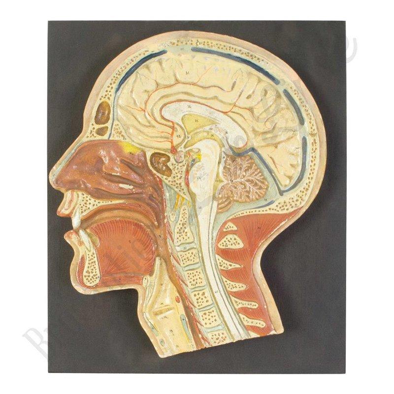 Antiek anatomisch model hoofd gemaakt van gips 1900-1925