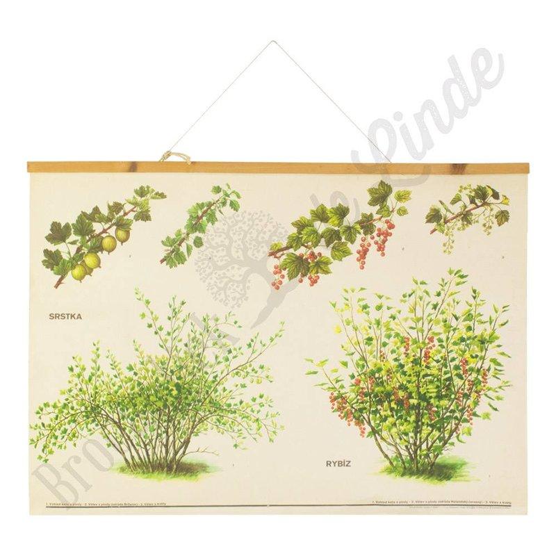 Botanische schoolplaat van de aalbes