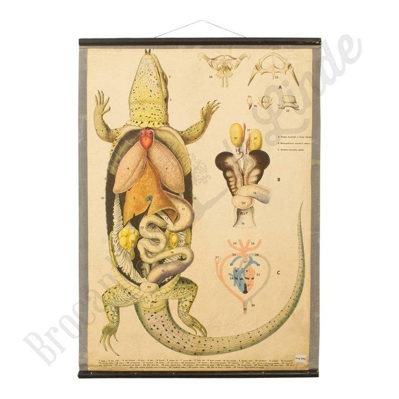 Schoolplaat Salamander